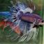 """(ขายแล้วครับ)""""คัดเกรด""""ปลากัดครีบยาวหางมงกุฎ-Crowntails Fancy thumbnail 6"""