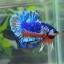 คัดเกรดปลากัดครีบสั้น-Halfmoon Plakat Fancy Dragon Blue Orange thumbnail 2
