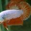 """(ขายแล้วครับ)""""คัดเกรด""""ปลากัดครีบสั้น-Halfmoon Plakats Orange Dragon Sweet thumbnail 2"""