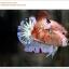 คัดเกรดปลากัดครีบสั้น-Halfmoon Plakat Koi Ice Fancy thumbnail 6