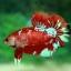 พิเศษโปรโมชั่นปลากัดคัดเกรดครีบสั้น - Halfmoon Plakad Fancy Dragon Quality Grade thumbnail 2