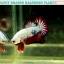 (ขายแล้วครับ)ปลากัดครีบสั้น-Halfmoon Plakat Fancy Dragon Good Grade thumbnail 4