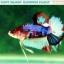 """(ขายแล้วครับ)""""คัดเกรดประกวด""""ปลากัดครีบสั้น-Halfmoon Plakats Fancy Dragon Koi Quality Grade thumbnail 8"""