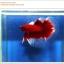 คัดเกรดปลากัดครีบยาว-Halfmoon Red Butterfy Nice Grade thumbnail 2