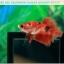 ปลากัดครีบสั้น-Halfmoon Plakat Fancy Red Koi thumbnail 5