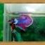 ปลากัดครีบสั้น-Fancy Halfmoon Plakats thumbnail 5