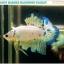 """""""คัดเกรด""""ปลากัดครีบสั้น-Halfmoon Plakats Fancy Marble thumbnail 4"""