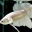 """(ขายแล้วครับ)""""คัดเกรด""""ปลากัดครีบสั้น-Halfmoon Plakats White Platinum thumbnail 3"""