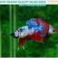 """(ขายแล้วครับ)""""คัดเกรด""""ปลากัดครีบสั้น-Halfmoon Plakats Fancy Dragon Nice colors thumbnail 1"""