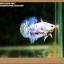 คัดเกรดปลากัดครีบสั้น- Halfmoon Plakat Fancy Dragon thumbnail 9