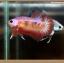 ปลากัดครีบสั้นหางพระจันทร์ครึ่งดวง - Halfmoon Plakat Fancy Orange and Pink thumbnail 3