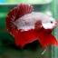 (ขายแล้วครับ)ปลากัดครีบสั้น - Halfmoon Plakats RED DRAGON2 thumbnail 4