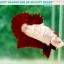 """(ขายแล้วครับ)มาแล้วสวยแปลก""""คัดเกรด""""ปลากัดครีบสั้น-Halfmoon Plakats Fancy Red Marble BF thumbnail 6"""