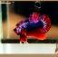 (ขายแล้วครับ)+ส่งท้ายปีเก่าตอนรับปีใหม่+ปลากัดครีบสั้น-Halfmoon Plakat Fancy Dragon Red Blue thumbnail 1