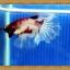ปลากัดครีบยาว - Fancy Halfmoon033 thumbnail 2
