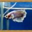 ปลากัดครีบสั้น - Halfmoon Plakats Fancy thumbnail 4