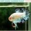 """(ขายแล้วครับ)""""คัดเกรด""""ปลากัดครีบสั้น-Halfmoon Plakats Fancy Marble Quality Grade thumbnail 3"""
