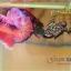 คัดเกรดปลากัดครีบสั้น-Halfmoon Plakat Fancy Pink Man Grade AAA+ thumbnail 3