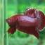(ขายแล้วครับ)ปลากัดครีบสั้น - Halfmoon Plakats RED2 thumbnail 2