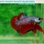 """(ขายแล้วครับ)""""คัดเกรด""""ปลากัดครีบสั้น-Halfmoon Plakats Fancy Dragon Red Devil thumbnail 2"""