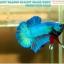 """(ขายแล้วครับ)""""คัดเกรด""""ปลากัดครีบสั้น-Halfmoon Plakats Fancy Green Nice Tails Nice Form thumbnail 4"""