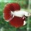 """(ขายแล้วครับ)""""คัดเกรด""""ปลากัดครีบยาว - Halfmoon DraGon01 thumbnail 4"""