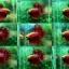(ขายแล้วครับ)ปลากัดครีบยาวหางมงกุฎ-Crowntails Red thumbnail 1