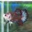 """(ขายแล้วครับ)""""คัดเกรด""""ปลากัดครีบสั้น-Halfmoon Plakats Super Fancy thumbnail 3"""