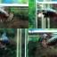 (ขายแล้วครับ)ปลากัดครีบสั้น-Halfmoon Plakats Dragon Copper thumbnail 1