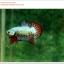 คัดเกรดปลากัดครีบสั้น-Halfmoon Plakat Fancy Green Orange Quality thumbnail 5