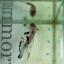 """(ขายแล้วครับ)""""คัดเกรด""""ปลากัดครีบสั้น-Halfmoon Plakats Fancy Koi Red Mark thumbnail 12"""