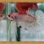 (ขายแล้วครับ)HMPKFC ปลากัดครีบสั้นเกรดประกวด thumbnail 3