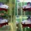 """(ขายแล้วครับ)""""คัดเกรด""""ปลากัดครีบสั้น-Halfmoon Plakats Fancy Dragon thumbnail 1"""