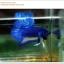 พิเศษ คัดเกรดปลากัดครีบสั้น-Halfmoon Plakat BLue Mustrad Grade AAA+ thumbnail 5