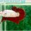 """(ขายแล้วครับ)มาแล้วสวยแปลก""""คัดเกรด""""ปลากัดครีบสั้น-Halfmoon Plakats Fancy Red Marble BF thumbnail 3"""