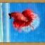ปลากัดครีบยาว - Halfmoon thumbnail 6