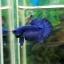 """(ขายแล้วครับ)""""คัดเกรด""""ปลากัดครีบสั้น-Halfmoon Plakats Super Fancy Blue thumbnail 4"""