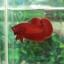 """(ขายแล้วครับ)""""คัดเกรด""""ปลากัดครีบสั้น-Halfmoon Plakats Super Red#2 Grade B+ thumbnail 8"""