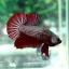 ปลากัดครีบสั้น-Halfmoon Plakats Copper thumbnail 6
