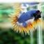 (ขายแล้วครับ)ปลากัดครีบยาวหางมงกุฎ-Crowntails04 thumbnail 2