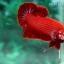 (ขายแล้วครับ)ปลากัดครีบสั้น - Halfmoon Plakats SUPER RED thumbnail 4