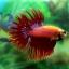(ขายแล้วครับ)ปลากัดครีบยาวหางมงกุฎ-Crowntails Red thumbnail 9