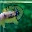คัดเกรดปลากัดครีบสั้น-Halfmoon Plakat Fancy Dragon Yellow Quality Grade thumbnail 3