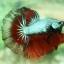 """""""คัดเกรด""""ปลากัดครีบยาว-Halfmoon02 thumbnail 4"""