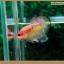 คัดเกรดปลากัดครีบสั้น-Halfmoon Plakat Fancy Nice Colors thumbnail 5