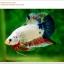 คัดเกรดปลากัดครีบสั้น-Hi- Quality Halfmoon Plakat Fancy Marble Quality Grade thumbnail 1
