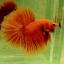 """""""คัดเกรด""""ปลากัดครีบยาว-Halfmoon Super Orange thumbnail 6"""
