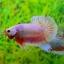 คัดเกรดปลากัดครีบสั้น-Halfmoon Plakat Fancy Dragon Pink thumbnail 1