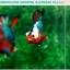 """(ขายแล้วครับ)""""คัดเกรดประกวด""""ปลากัดครีบสั้น-Over Halfmoon Plakats Fancy Dragon Green Orange Monster Quality Grade thumbnail 1"""
