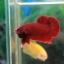 """(ขายแล้วครับ)""""คัดเกรด""""ปลากัดครีบสั้น-Halfmoon Plakats Super Red thumbnail 8"""